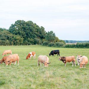 Aubrac. Fleckvieh und Angus-Rinder auf Weide