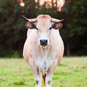 Gesundes Aubrac Rind auf Weide