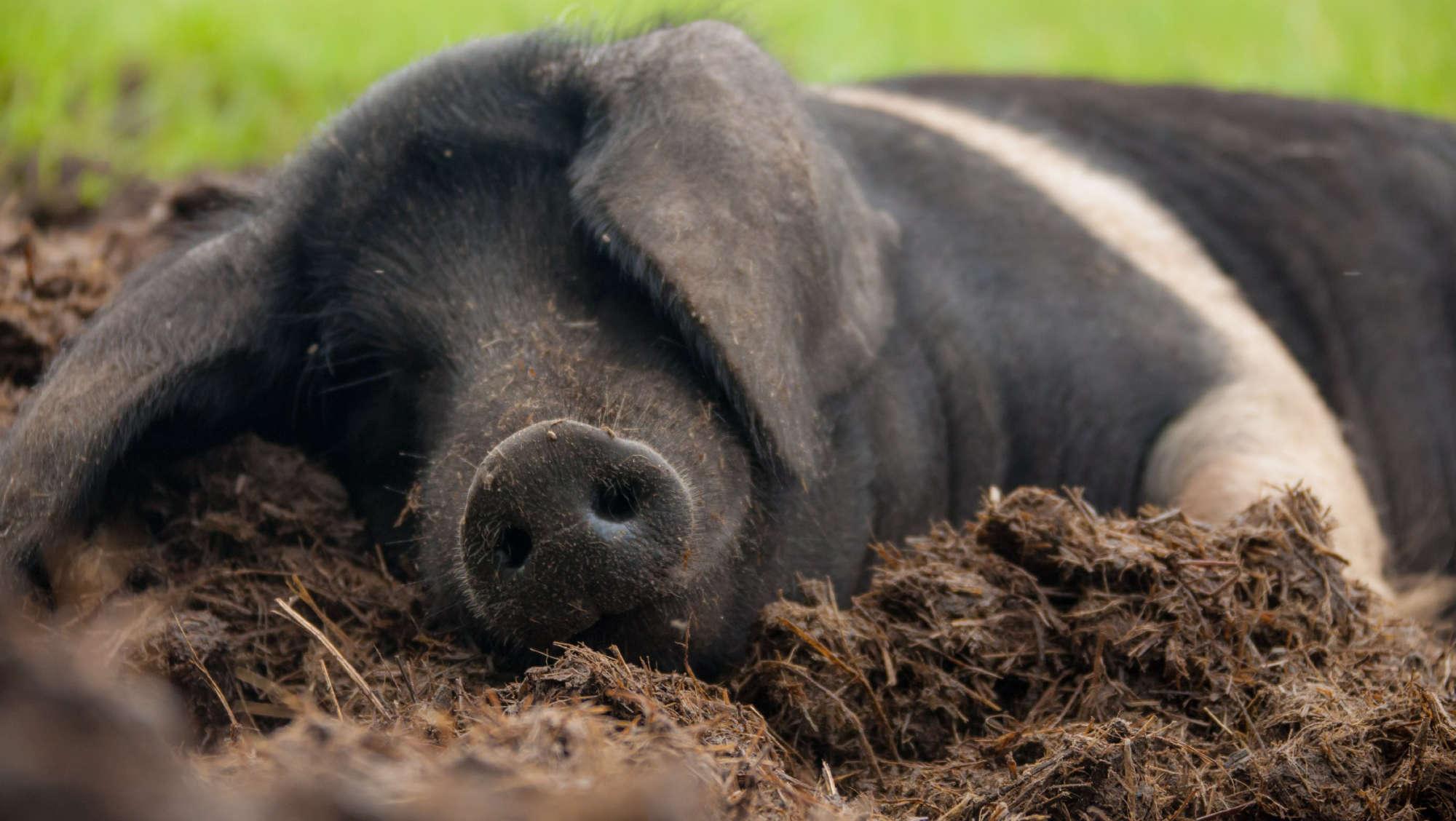 Freilandschweine Ostermühlen