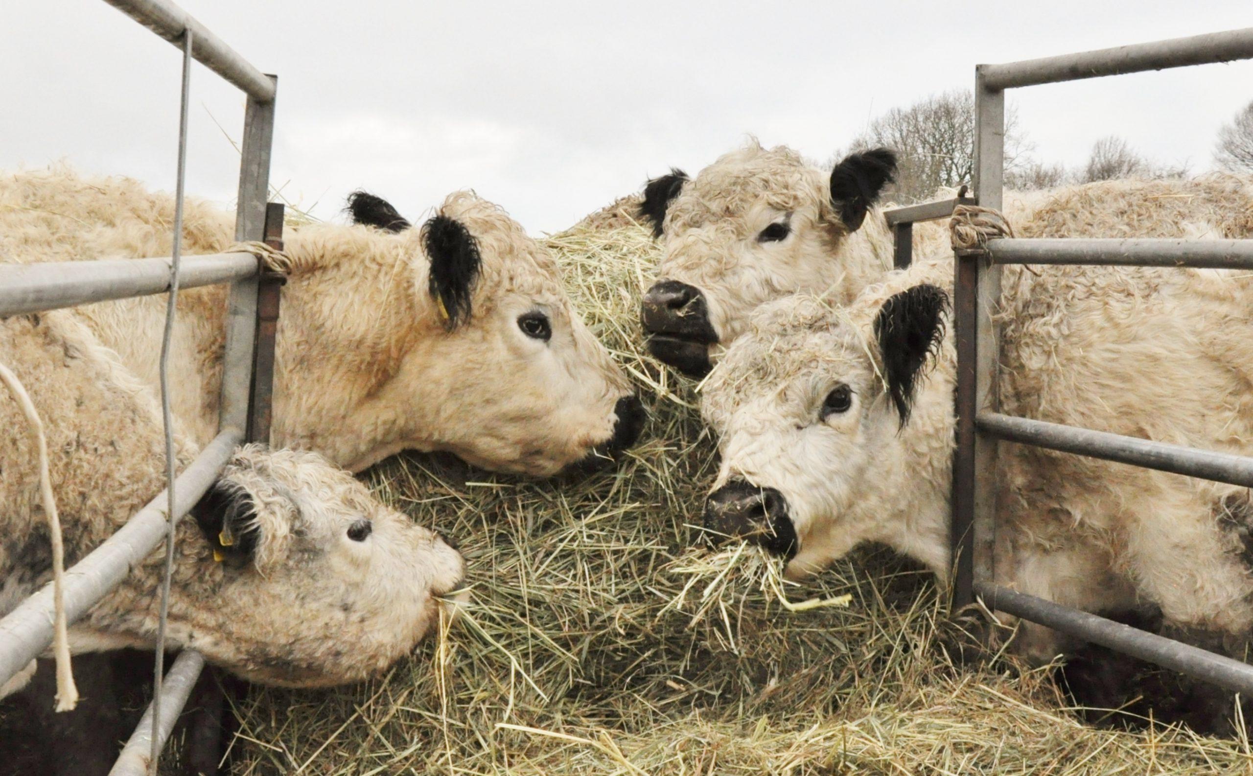 Werden die Rinder mit Soja gefüttert?