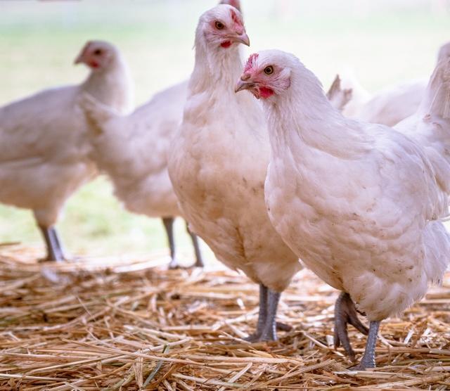 Brief an Hühnerkäufer:innen