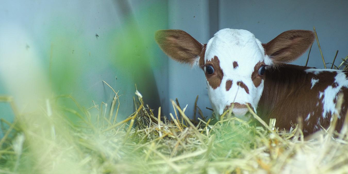 Das Schicksal der Milchkälber: Lösung dringend erwünscht!